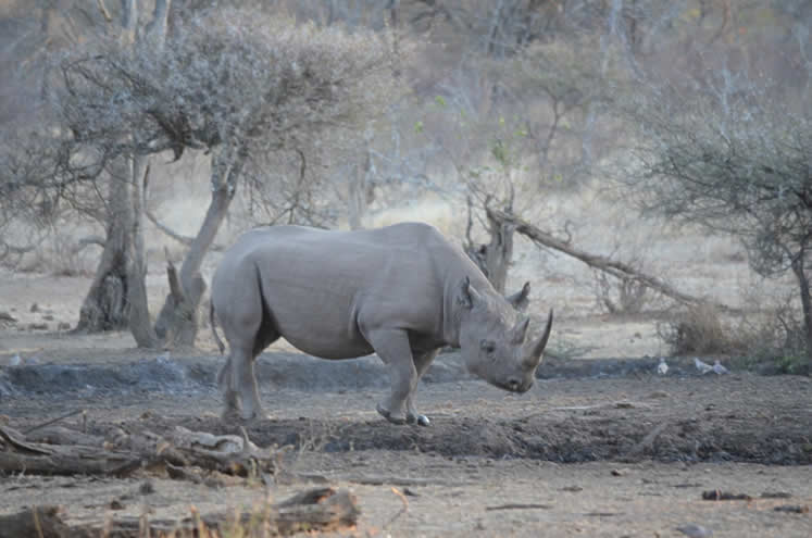 Rhino in the Bubye Valley Conservancy